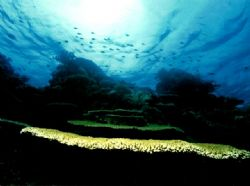 Landscape with several very large plate corals. Nikonos V... by Marylin Batt 